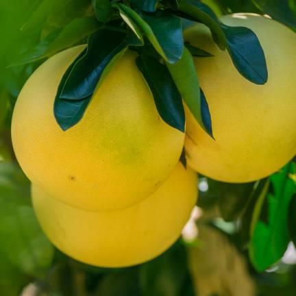 Pomelo paradisi