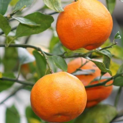 Mandarine reticulata Satsuma