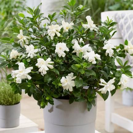 Gardenia Double Diamond® 'Leefour'