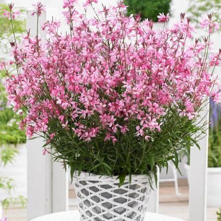 Gaura lindheimeri Baby Butterfly® Dark Pink 'URIBLBP'
