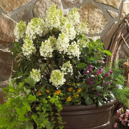 Hortensia paniculata Baby Lace® 'PIIHP1'