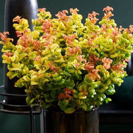Leucothoe Curly Gold® 'Opstal 55'
