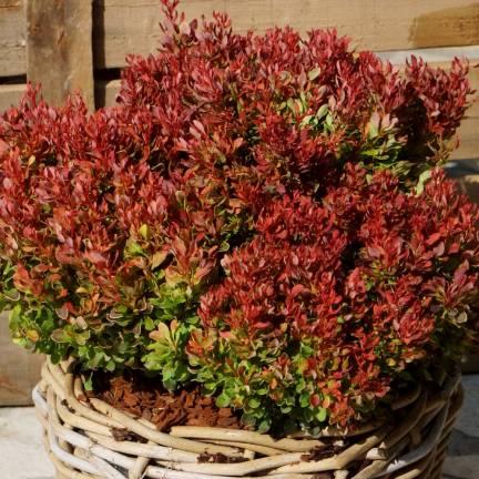 Epine-vinette thunbergii Golden Ruby® 'Goruzam'