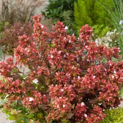 Abélie à grandes fleurs Mystic Daydream® 'Opstal40'