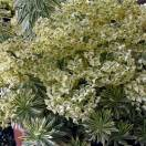 Euphorbe des garrigues characias Tasmanian Tiger®