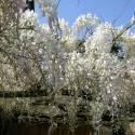 Glycine de Chine sinensis var. Alba