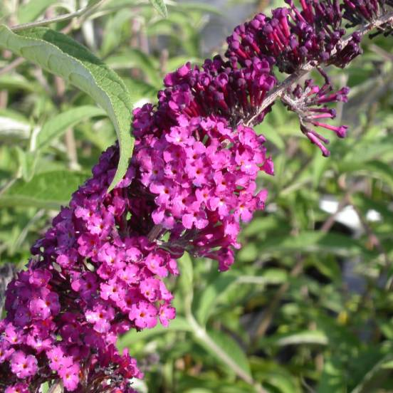 Arbre aux papillons davidii Royal Red