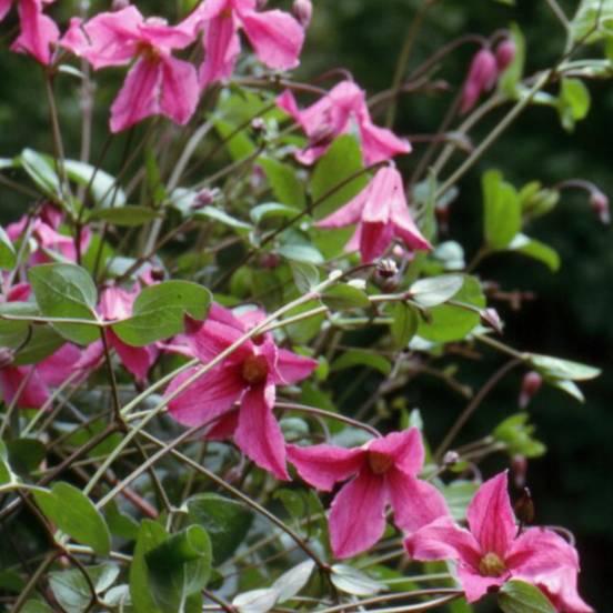 Clématite integrifolia Heather Herschell®