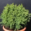 Cèdre du Japon japonica Vilmoriniana
