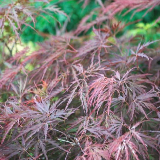 Érable palmé palmatum Dissectum Garnet