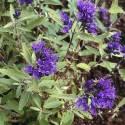 Caryopteris x clandonensis Kew blue