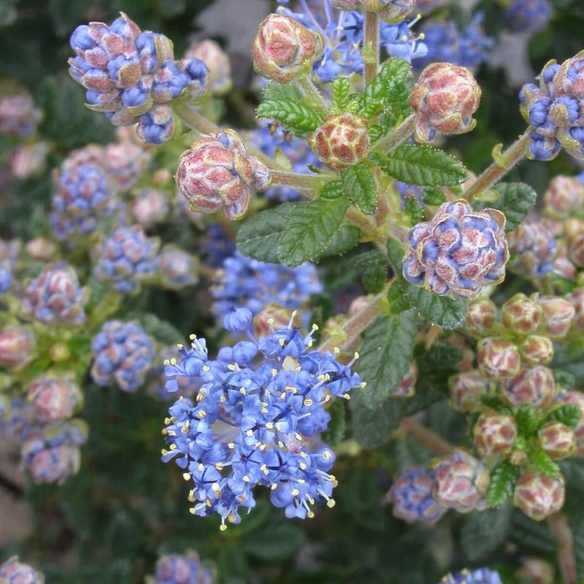 ceanothe-impressus-puget-blue.jpg