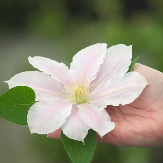 Clématite Pink Pearl