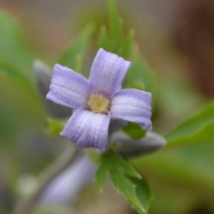 Clématite heracleifolia Côte d'Azur