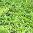 Genévrier sabine sabina Tamariscifolia