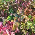 Vigne Vierge quinquefolia Murorum