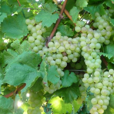 Vigne vinifera Perlette