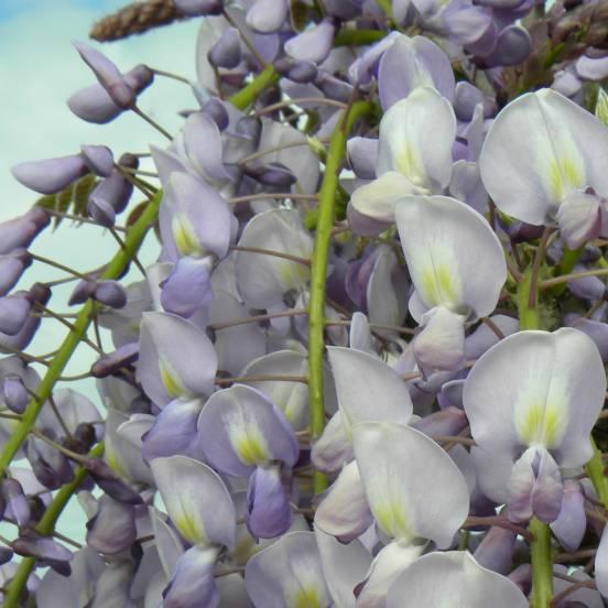 Glycine du Japon floribunda Issaï