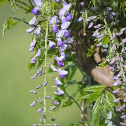 Glycine du Japon floribunda Premature