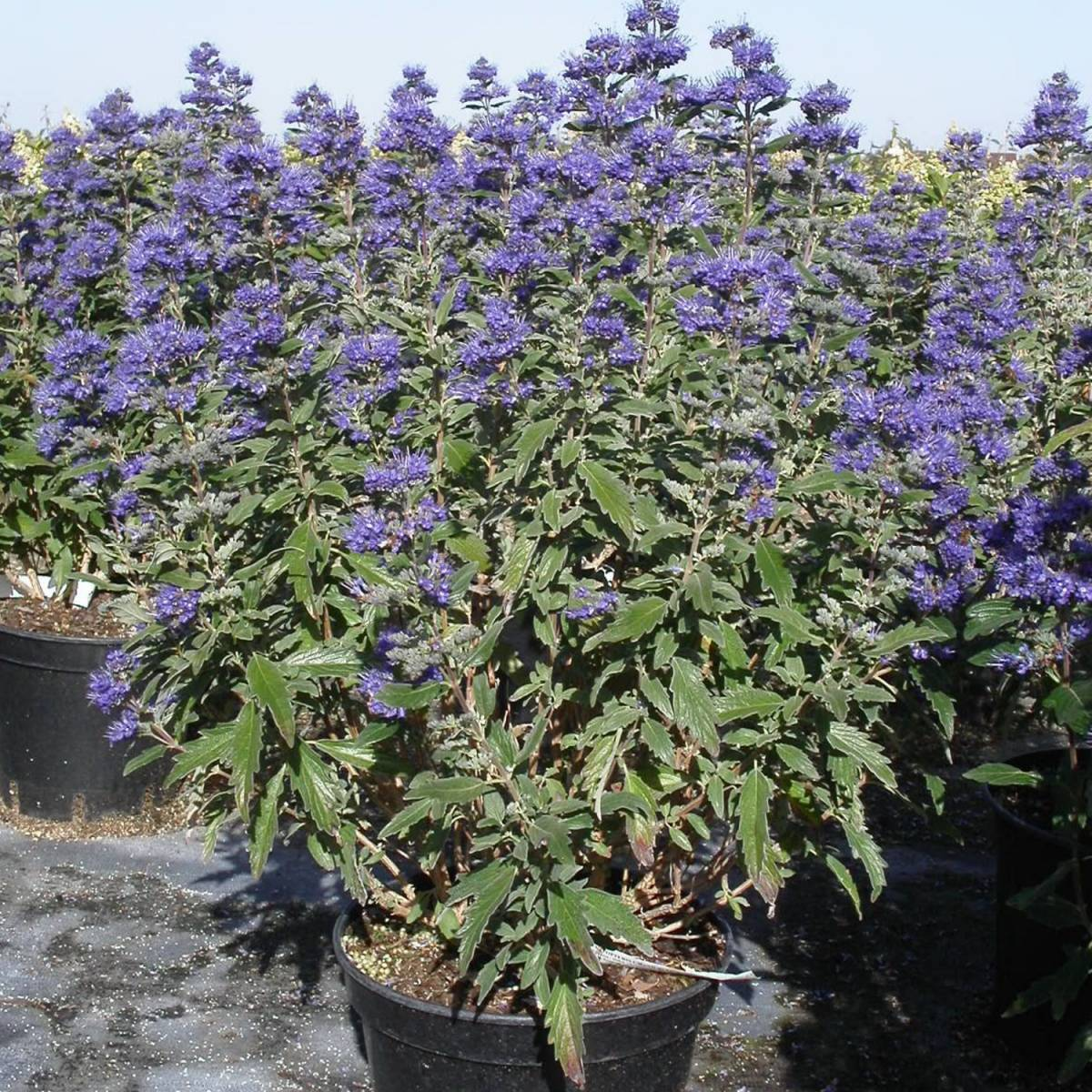 caryopteris-x-clandonensis-grand-bleu-in