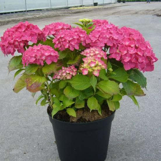 Hortensia macrophylla Rosita