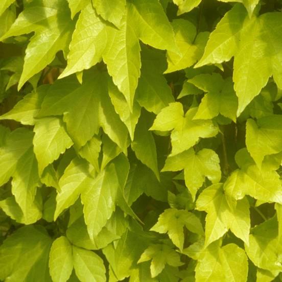 Vigne Vierge quinquefolia Golden Wall® 'Fenway'
