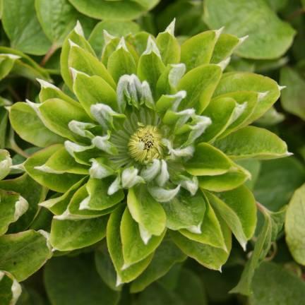 Clématite Green Passion® 'Zo11050'