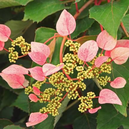 Hortensia grimpant hydrangeoïdes Rose sensation® 'Trarose'