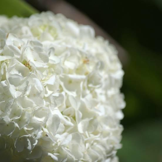Hortensia à feuilles de chêne quercifolia Harmony