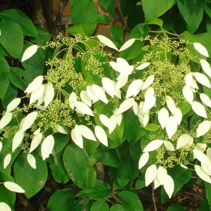 Hortensia grimpant integrifolia
