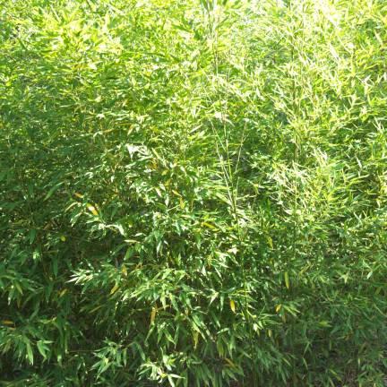 Bambou doré aurea