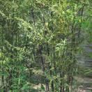 Bambou noir nigra