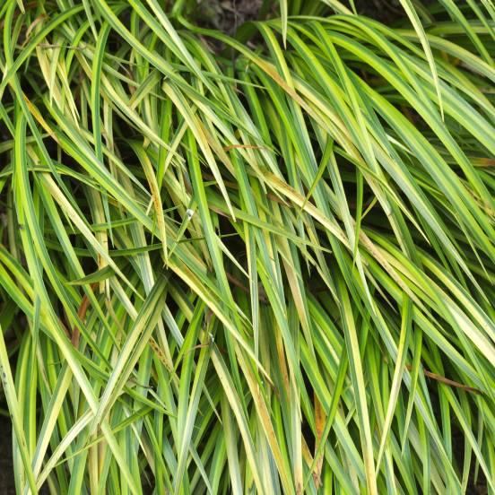 Laîche d'Oshima oshimensis Evergold