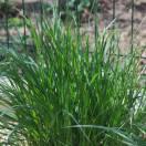 Herbe aux écouvillons alopecuroides