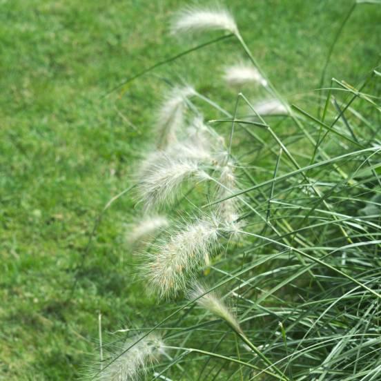 Pennisetum hérissé villosum