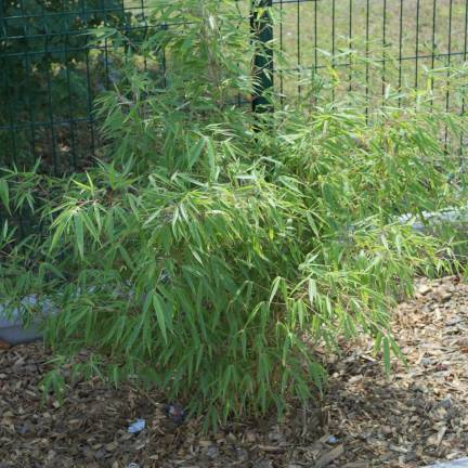 Bambou Non Traçant rufa