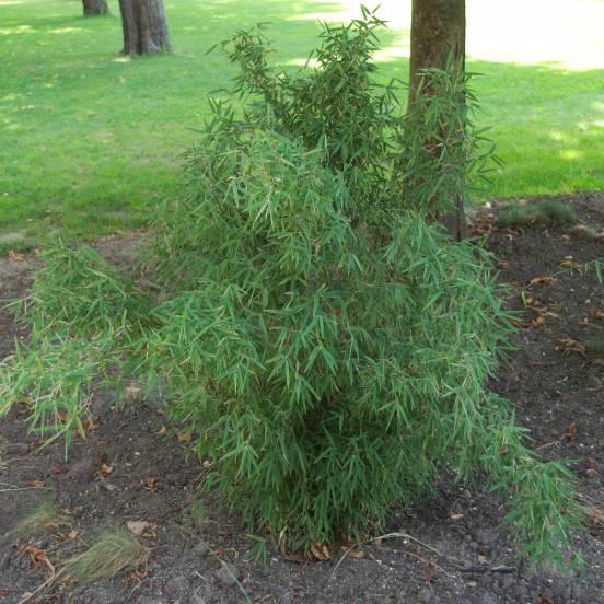 Bambou Non Traçant campbell