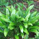 Fougère scolopendrium var. scolopendrium