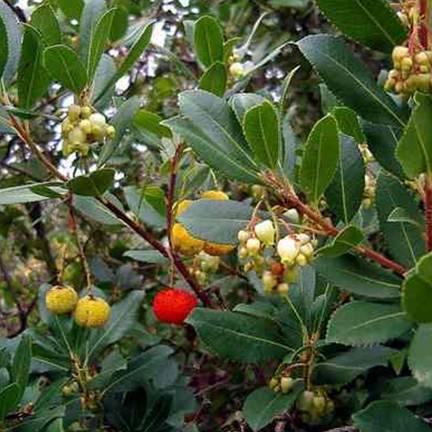 Arbousier, Arbre aux fraises unedo Rubra