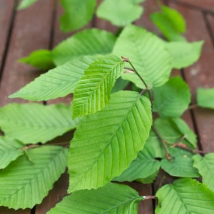 Charme betulus Fastigiata