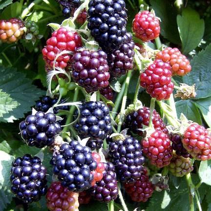Mûre fruticosus Thornfree