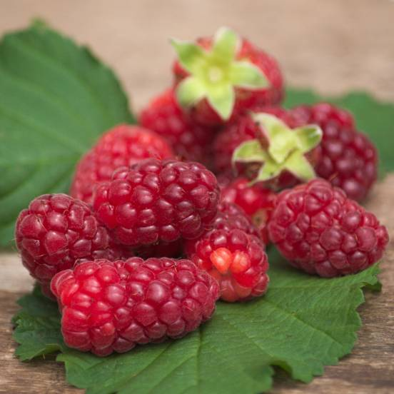 Mûre fruticosus Tayberry