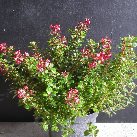 Escallonia x Red dream