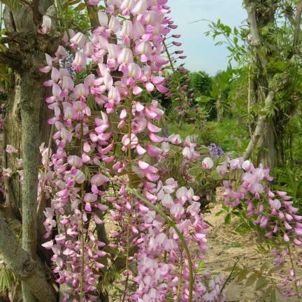 Glycine du Japon floribunda Pink Ice