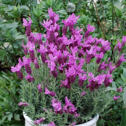 Lavande papillon stoechas The Princess® Lavender 'IB910-2'