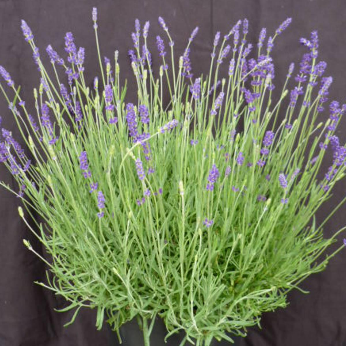 lavande angustifolia twickel purple. Black Bedroom Furniture Sets. Home Design Ideas