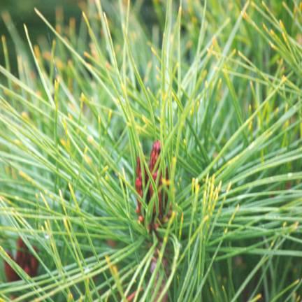 Pin rouge du Japon densiflora Alice Verkade
