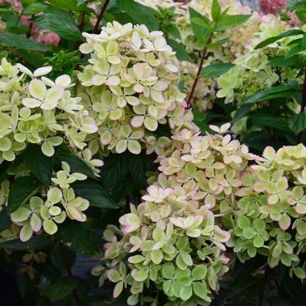 Hortensia paniculata Pastelgreen® 'Rencolor'