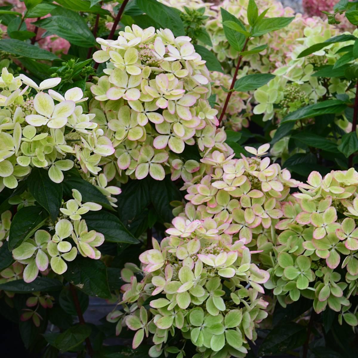 hortensia-paniculata-pastelgreen-rencolo
