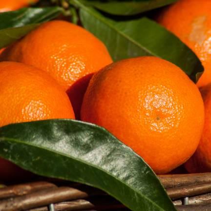 Mandarine reticulata